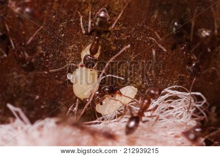 Crowd of wood ants, with high magnification, carrying their eggs to anew home, this ant is often a pest in houses, in a wooden background.