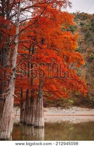 Red swamp cypresses in lake, autumn nature