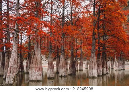Red swamp cypresses, autumn landscape with trees and water