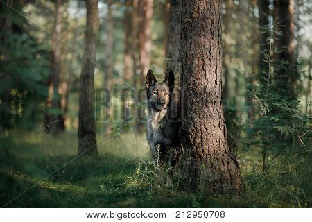 Dog Eastern European shepherd sitting under a tree in the forest