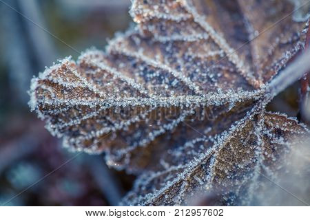 A beautiful closeup of a frozen cloudberry leaf in a wetland. Macro with a shallow depth of field.