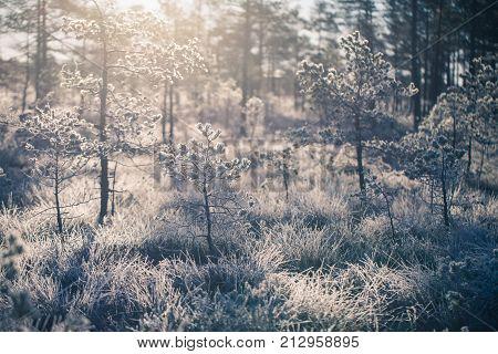 A beautiful morning landscape in a frozen swamp. Bright colorful sunrise in frozen wetlands. Beautiful autumn scenery in Latvia.