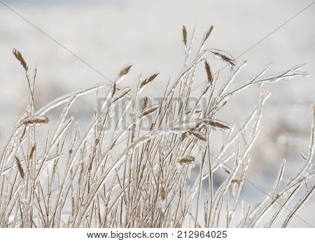 dry grass covered with ice against a background of snow on a sunny day