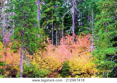 Deciduous trees changing colors during autumn foliage surrounded by a pine woodland taken in a temperate forest