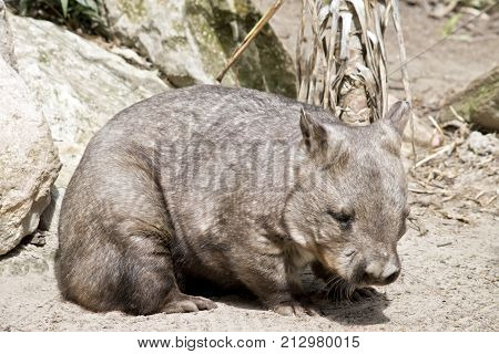 the hairy nosed wombat is walking on sand