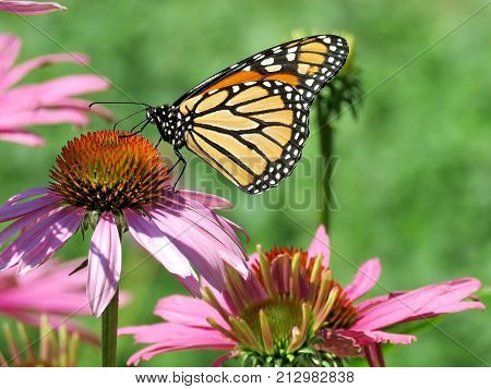 Monarch butterfly and purple coneflower on shore of the Lake Ontario in Toronto Canada August 8 2017