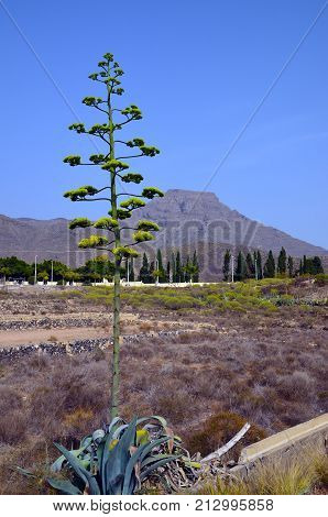 Agave americana (Century plant,Blue agave,American aloe) in bloom growing in Adeje,Tenerife,Canary Islands,Spain.