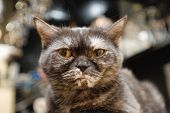 Close-up portrait of pedigreed cat (British Shorthair) poster