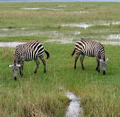 It seems that these zebra have a natural sense of symmetry.  poster