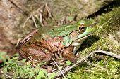 Green Frog (Rana clamitans) sunning on a grassy rock poster
