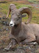 bighorn sheep (ovis canadensis) at wilcox pass, jasper national park, alberta, canada. poster