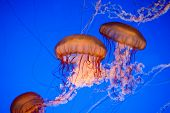 beautiful jelly fishes in blue saltwater ocean poster