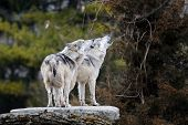 A pair of howling Mexican gray wolves (canis lupus) poster