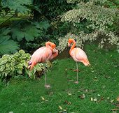 The photo of two flamingos was taken at Coton manor garden. England. poster