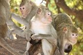 A picture of a group of Long-tailed Macaques on the tree in forest park poster