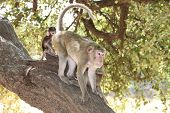 A picture of Long-tailed Macaque standing in four legs on the tree in forest park poster