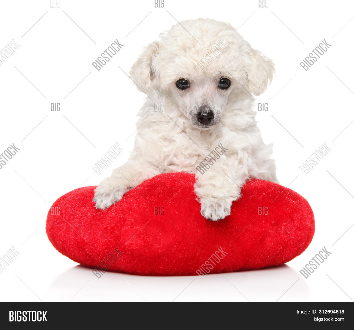White Toy Poodle Puppy Image Photo Free Trial Bigstock