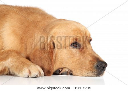 Sad Golden Retriever dog lying on the white floor poster