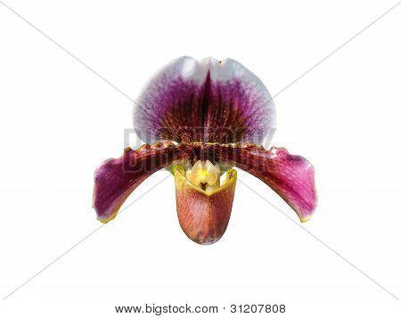 Paphiopedilum Orchid Flower