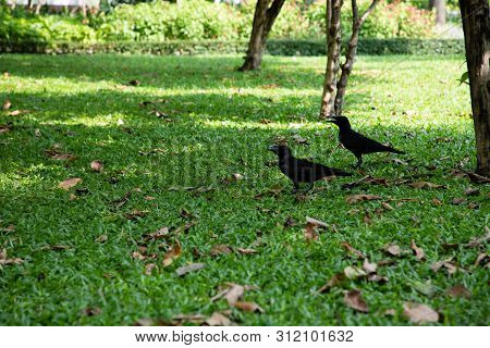 View Of Two Crows Over A Green Grass Field With Brown Leaves