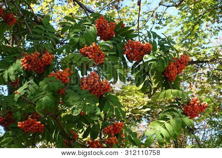 Dense Corymbs Of Orange Berries Of Sorbus Aucuparia In September