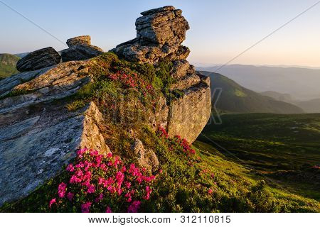 Pink Rose Rhododendron Flowers Near Big Boulder On Early Morning Summer Mountain Slope, Carpathian,