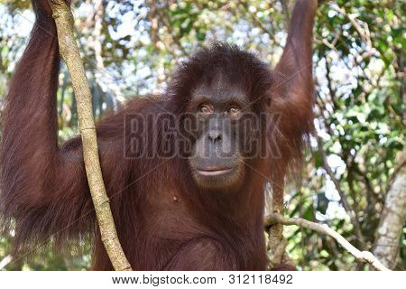 Closeup With Borneo Orangutan In Sandakan Sepilok. Sabah, Malaysia, Borneo.