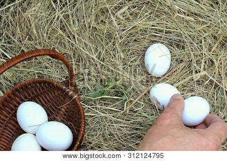 Man With His Hands Collect White Eggs In The Straw Or On The Chicken Roost And Folds It In A Wicker