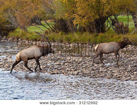 Two Elk Crossing Stream