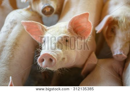 Group Of Pig That Looks Healthy In Local Asean Pig Farm At Livestock. The Concept Of Standardized An