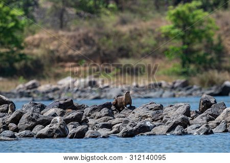 Smooth-coated Otter Or Lutrogale Pers Family Playing In Blue Water Of Ramganga River At Jim Corbett
