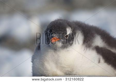 Gentoo Penguin Single. Penguin Portrait In Antarctica On Blur Background, Argentine Islands.