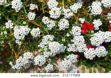 The White Blossoms Of The Alyssum Lobularia In The Garden.