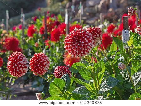Summer Dahlia Garden With Red And White Dahlias.