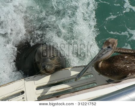 Sea Lion and Pelican