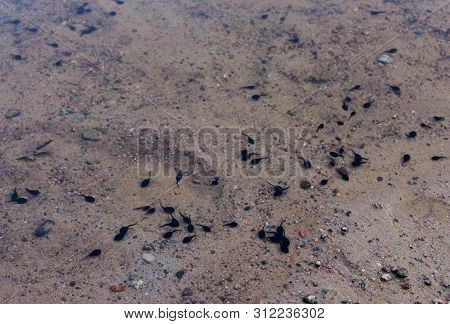 Large Black Tadpoles In The Pond. Sand And Clear Water