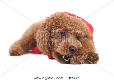 Toy poodle with puppy cut in large red T-shirt poster