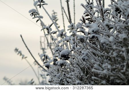 Twigs With Black Berries Of A Privet Hedge In Winter Garden