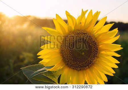 Beautiful Young Sunflower Grow In A Field At Sunset. Agriculture And Farming. Agricultural Crops. Ye
