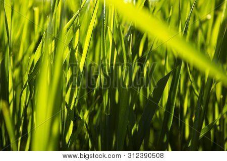 Fresh Dark Green Grass Background.nature Background With  Fresh Green Grass With Beautiful Bokeh Eff