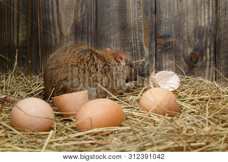 Close-up The Young Rat (rattus Norvegicus)  Eats Hens Egg In The Chicken Coop. Back View.  Concept O