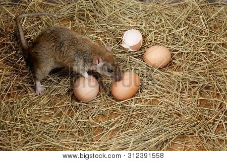 Close-up The Young Rat (rattus Norvegicus)  And Hens Eggs In The Chicken Coop. Top View.  Concept Of