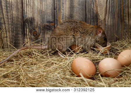 Close-up The Young Rat (rattus Norvegicus)  Eats Hens Egg In The Chicken Coop. Concept Of Rodent Con