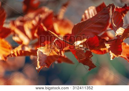 Reddish Brown Foliage Of A Beech Tree. Wonderful Nature Background On A Sunny November Day