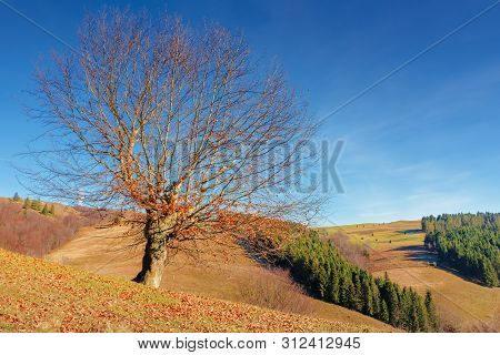 Beech With Fallen Foliage On The Hill. Sunny Forenoon Weather With Clear Blue Sky. Spruce Woodlot On