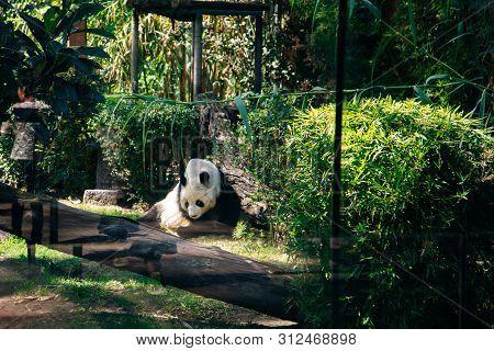 Hungry Giant Panda Bear Eating Bamboo In Zoo