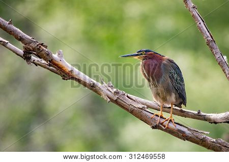 Green Heron Perched On A Branch In Malden Park At Windsor, Ontario Canada