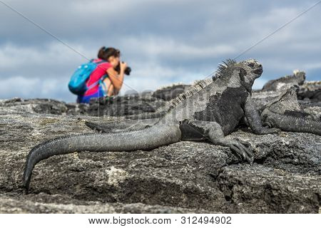 Galapagos tourist photographer taking photos of Marine Iguanas on Fernandina Island, Espinoza Point. Amazing wildlife, nature and animals on Galapagos Islands, Ecuador, South America.