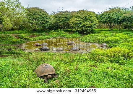 Galapagos Giant Tortoise on Santa Cruz Island in Galapagos Islands. Group of many Galapagos tortoises cooling of in water hole. Amazing animals, nature and wildlife photo from Galapagos highlands.