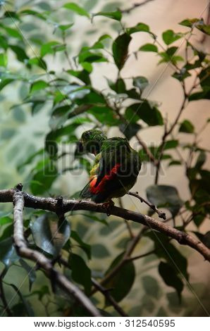 Green Colorful Bird (vernal Hanging Parrot) In The Zoo
